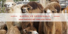 kameel versus dromedaris