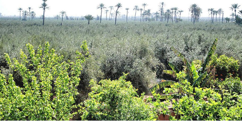 Olijfbomen in de tuin van Menara