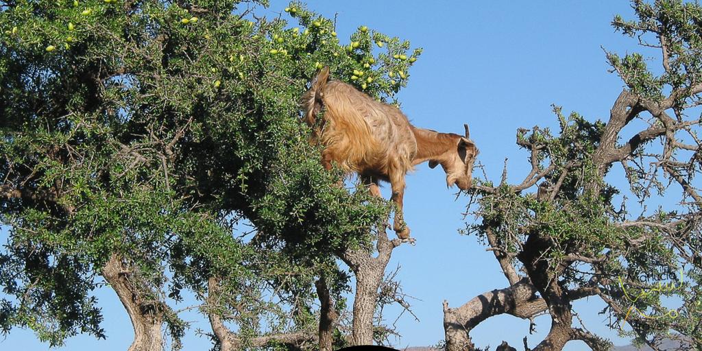 geiten die in bomen klimmen